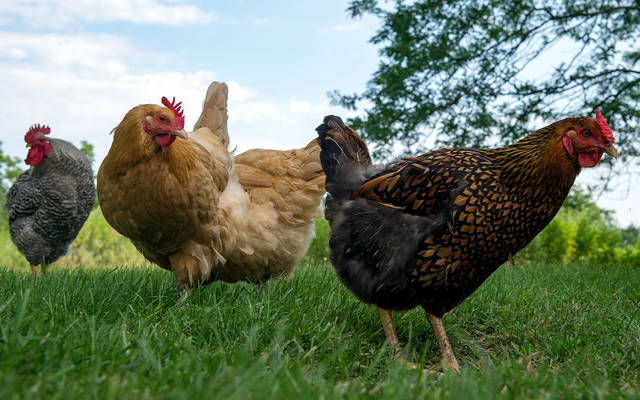 <p>Chickens roam the grounds of Bethlehem Retreat House at the Abbey of the Genesee in Piffard Aug. 4. </p>
