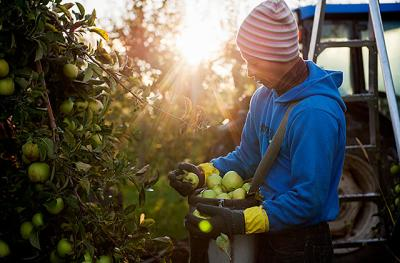 The sun rises behind Heberle Farms worker Raul Duran as he picks Golden Delicious apples Oct. 8 at a Brockport, N.Y., orchard owned by Martin Farms. Heberle Farms rents 50 acres of land in Brockport that yields 25,000 to 30,000 bushels of apples during a good season. Many of Heberle's apple pickers hail from the Mexican state of Michoacan and come to the U.S. on H-2A visas that allow them to do temporary agricultural work.